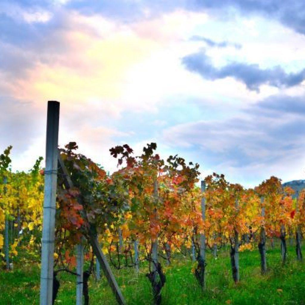 Mario Giribaldi les vignes enherbées